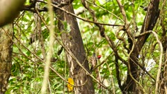 Crimson crested woodpecker climbing down tree in jungle