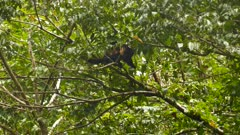 Monkey walking down a large branch in Panama rainforest
