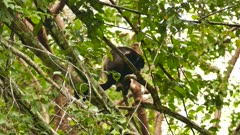 Sharp shot of howler monkey on branch with blurry background