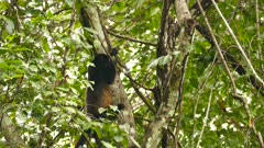 Mantled howler monkey climbing up a tree in Panama forest
