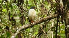 Semiplumbeous hawk tight and medium shot perched in Panama