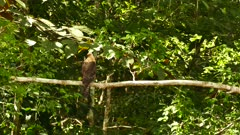 Caracara in Panama perched on empty branch with light wind