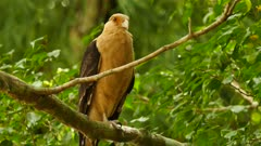 Proximity shot of caracara bird of prey in Panama nature park