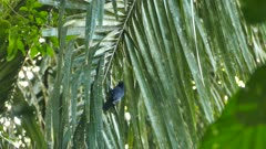 Scarlet rumped cacique bird switching side on palmtree leaf