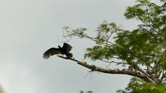 Turkey vulture drying up wings by stretching them out on dead branch