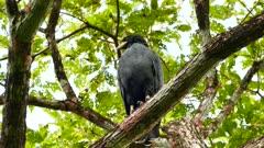 Common black hawk turning head around analysing surroundings