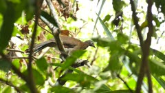 Large chachalaca bird moving head and neck while looking around