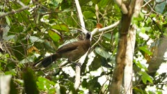 Chachalaca hopping up and away in semi dense Panama tree