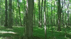 Lush wide opened healthy forest shows large mature trees in Canada