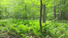 Field of ferns gently blowing in light wind during North American summer