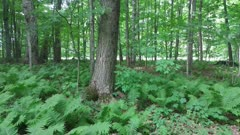 Ferns on forest floor moves slightly with wind in deciduous forest