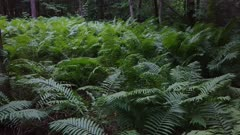 Beautiful lush ferns grow in the wild in North American forest