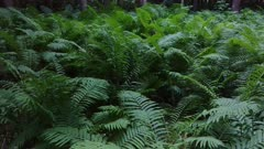 Luxuriant patch of fern growing on pretty forest floor in Canada