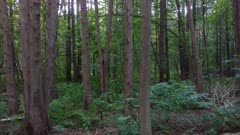 Mixed forest filmed on steadicam with pine trees and low ferns