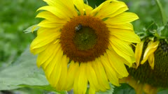 Wide healthy sunflower with two different insects foraging simultaneously