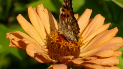 Peach colored flower lays in the sun and is home to feeding ground for butterfly