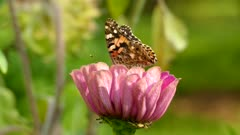 Butterfly resting and flapping wings atop a pretty pink flower