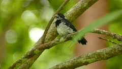 Closeup of variable seedeater bird perched on branch in wild tropical setting