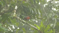 Crimson backed tanager perched on branch in cloud forest of Panama