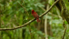 Dual shots of summer tanager perched on branch on bokeh background