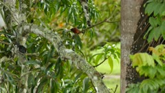 Dual shot of crimson backed tanager in open area in Panama