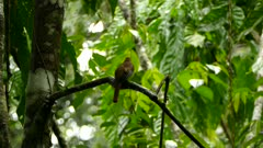 Extended dual shots of exotic trogon perched in wet humid rainforest