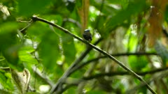 Blue capped manakin is proudly standing on single branch on focus