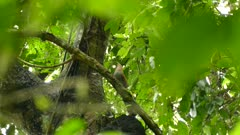 Dual extended shots of lage exotic cuckoo bird in tree-top in Panama