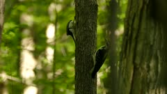 Closeup shot of woodpeckers perched on tree trunk in deciduous forest