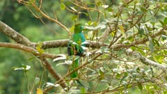 Male Resplendent Quetzal back facing perched on blurry background