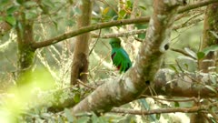 Side view of mystical exotic bird Quetzal perched in a tree with light wind