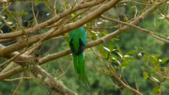 Male Resplendent Quetzal looking back before hopping up and away