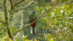 Wind blowing in female Resplendent Quetzal's feathers in the wild