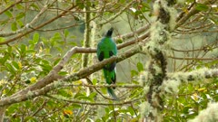 Extended one minute stunning view of the back of male Quetzal