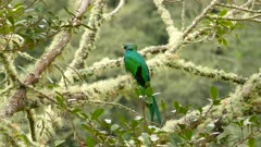 Striking double shot of male Resplendent Quetzal sitting on mossy branch