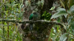 Female Resplendent Quetzal perched on branch in mossy tree