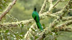 Beautiful male Resplendent Quetzal taking off and showing red color