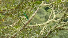 Pretty well-camouflaged male Quetzal taking place in an avocado tree