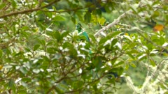 Partially hidden male Quetzal takes off from branch of wild-avocado tree