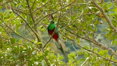Double shot of tropical Quetzal in mossy tree on mountain background