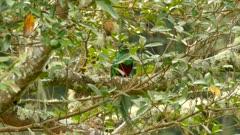Resplendent Quetzal male stunning bird swallowing a whole green fruit