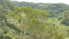 Wide view of tree with Quetzal in it seen on blurry mountain background