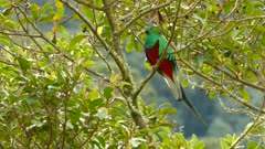 Incredible Quetzal bird with red and green iridescent shining feathers