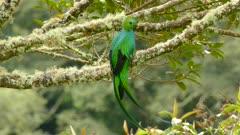Stunning mystical Quetzal bird in closeup and medium shot in the wild
