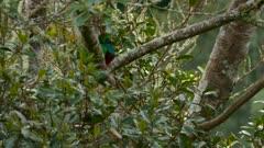 Partially hidden male Resplendent Quetzal turning head on each sides