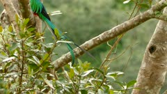 Slow tracking shot of the tail of a male Resplendent Quetzal in Costa Rica