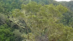 Wide shot of a tree in the wild with two Quetzal birds perched in it
