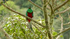 Long one minute extended footage of male Quetzal facing the camera