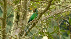 Wind blowing gently in tree where Resplendent Quetzal is perched