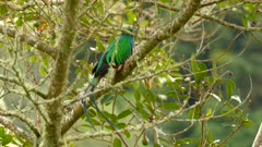Male Quetzal bird takes off and flies away from a tree with light wind